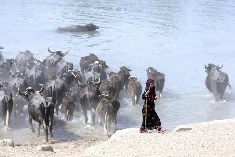 علاء المرجاني- رويترز (فتاة عراقية مع قطعان الجواميس في نهر الفرات في النجف، جنوب بغداد، 6 اذار 2014.)