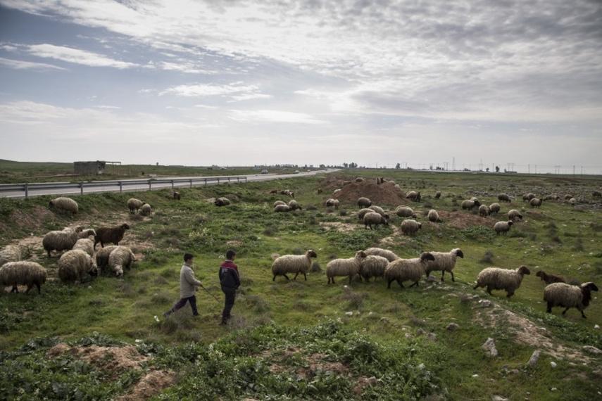 رعاة صغار يقومون برعي ماشية عائلتهم في حقول خارج قضاء الدبس