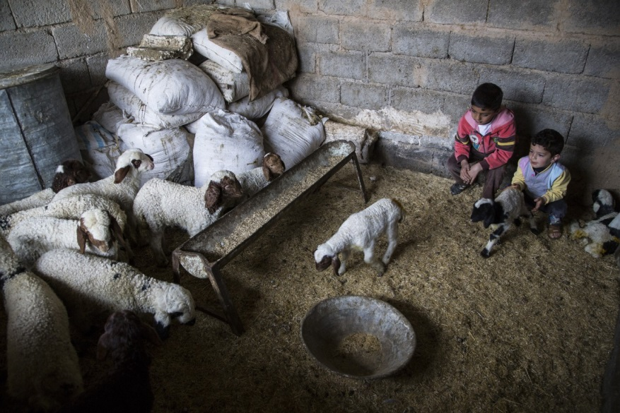 طفلان يرعيان الماشية في شاغمايا